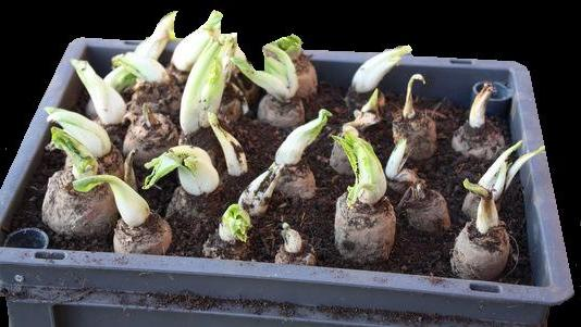 Cultiver des endives l 39 ancienne chez soi - Comment cuisiner les endives ...